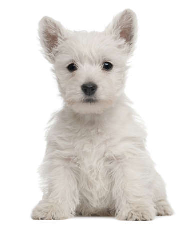 West Highland Terrier puppy, 7 weeks old, in front of white background photo