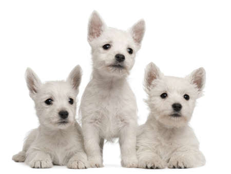 Three West Highland Terrier puppies, 7 weeks old, in front of white background photo