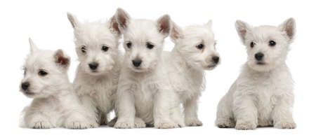 Five West Highland Terrier puppies, 7 weeks old, in front of white background photo