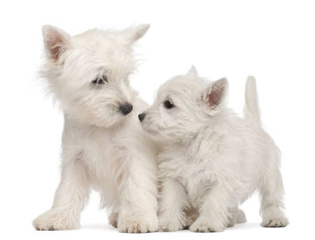 Two West Highland Terrier puppies, 7 weeks old, in front of white background photo