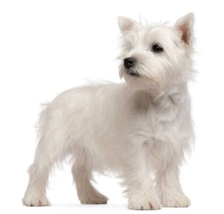West Highland Terrier puppy, 4 months old, in front of white background photo