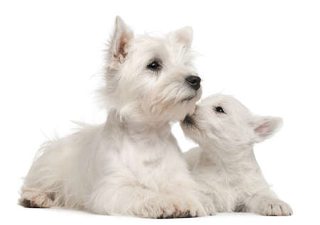 Two West Highland Terrier puppies, 4 months old and 7 weeks old, in front of white background photo