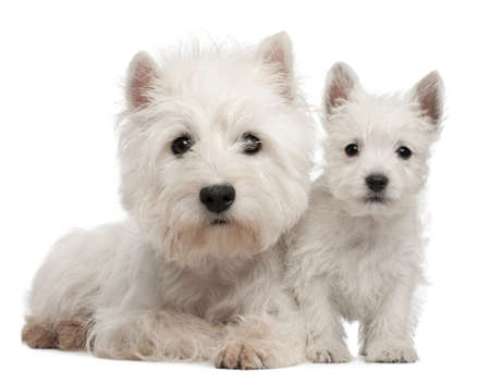 Two West Highland Terrier puppies, 4 months old and 7 weeks old, in front of white background Stock Photo - 9563991