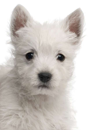 Close-up of West Highland Terrier puppy, 7 weeks old, in front of white background photo