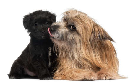 Pyrenean Shepherd and puppy licking, 3 years old and 6 weeks old, in front of white background photo