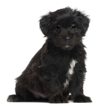 pyrenean: Pyrenean Shepherd puppy, 6 weeks old, in front of white background Stock Photo
