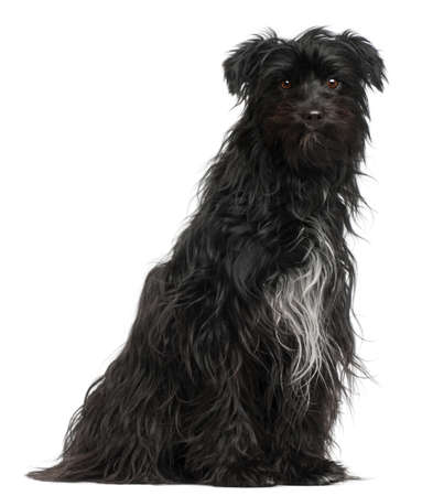 pyrenean: Pyrenean Shepherd, 15 months old, in front of white background