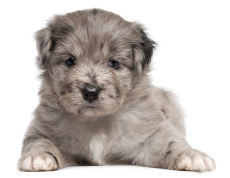pyrenean: Pyrenean Shepherd puppy, 4 weeks old, in front of white background