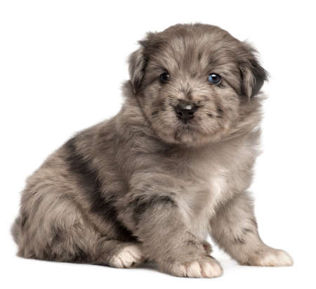 Pyrenean Shepherd puppy, 4 weeks old, in front of white background photo