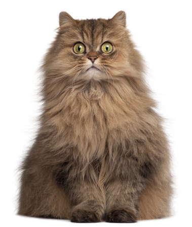 cat eyes: Persian cat, 6 years old, in front of white background