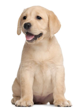Cachorro Labrador, 7 semanas de edad, de fondo blanco