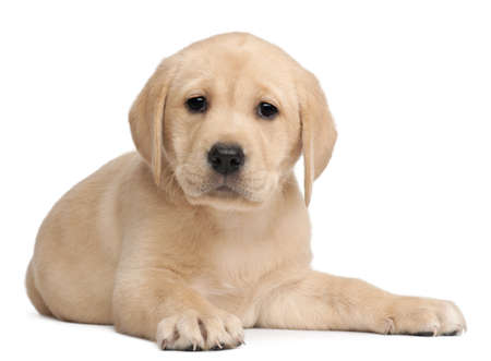 labrador puppy: Labrador puppy, 7 weeks old, in front of white background