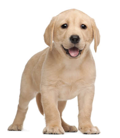 labrador: Labrador puppy, 7 weeks old, in front of white background