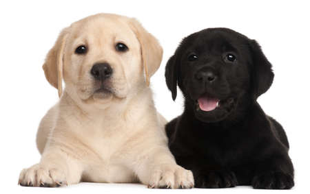 Two Labrador puppies, 7 weeks old, in front of white background photo