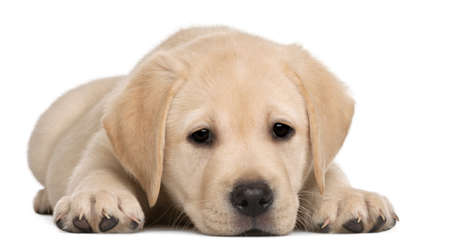 lying in front: Labrador puppy, 7 weeks old, in front of white background