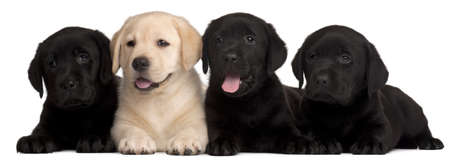 Four Labrador puppies, 7 weeks old, in front of white background photo