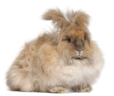bunny rabbit: English Angora rabbit in front of white background