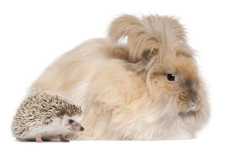 English Angora rabbit and a Four-toed Hedgehog, Atelerix albiventris, in front of white background photo