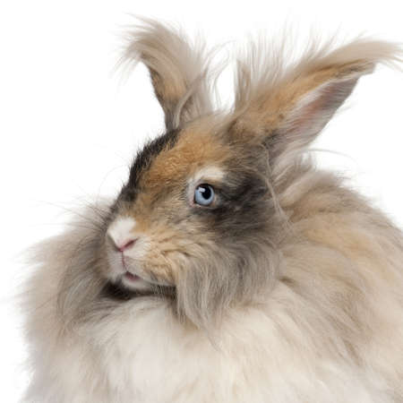 Close-up of English Angora rabbit in front of white background photo