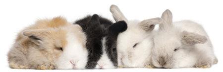 Four English Angora rabbits in front of white background photo