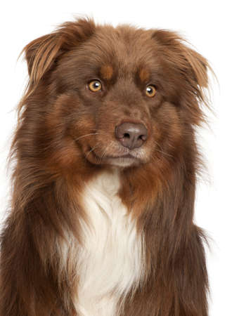 Close-up of Australian Shepherd dog in front of white background photo