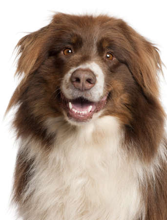 front teeth: Close-up of Australian Shepherd dog in front of white background Stock Photo