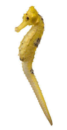 Longsnout seahorse or Slender seahorse, Hippocampus reidi yellowish, in front of white background Stock Photo - 9563270