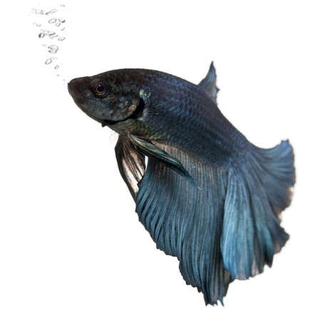 Blue Siamese fighting fish, Betta Splendens, swimming in front of white background Stock Photo - 9563568
