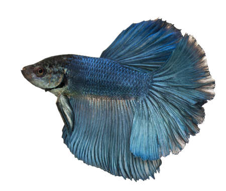 Blue Siamese fighting fish, Betta Splendens, swimming in front of white background photo