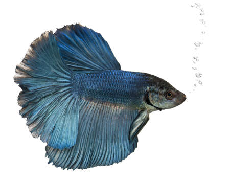 Blue Siamese fighting fish, Betta Splendens, swimming in front of white background Stock Photo - 9564242