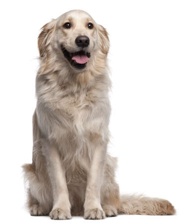 2 years old:  Golden Retriever, 2 years old, sitting in front of white background Stock Photo
