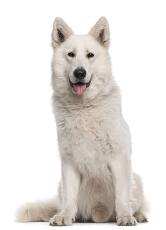 berger: Berger Blanc Suisse, 2 years old, sitting in front of white background