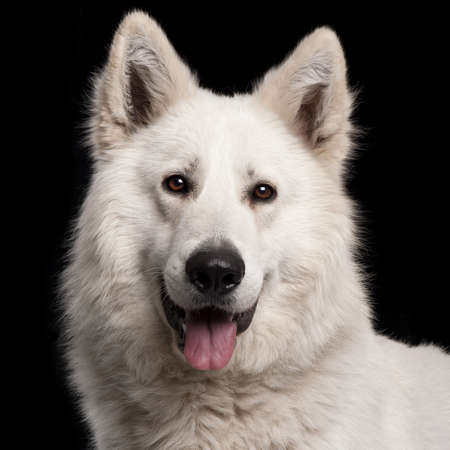berger: Close-up of Berger Blanc Suisse, 2 years old, in front of black background