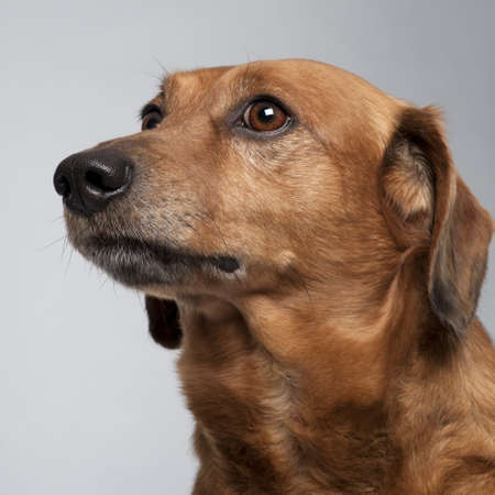 Close-up of Mixed-breed dog, 9 years old, looking up in front of grey background photo