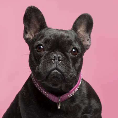 Close-up of French bulldog, 2 years old, wearing collar in front of pink background photo