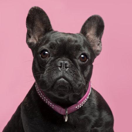 collarin: Primer plano de bulldog franc�s, 2 a�os de edad, llevaba collar de fondo de color rosado