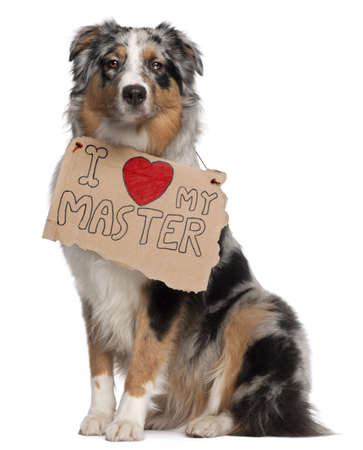 valentines dog: Australian Shepherd dog, 10 months old, sitting in front of white background with sign Stock Photo