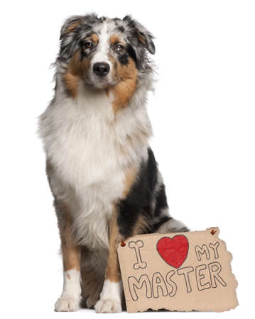Australian Shepherd dog, 10 months old, sitting in front of white background with sign photo