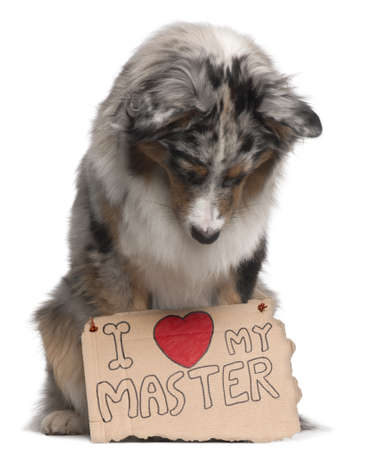 Australian Shepherd dog, 10 months old, sitting in front of white background looking at sign photo