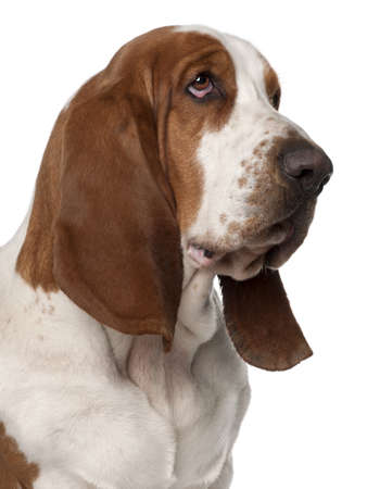 dog looking up: Close-up of Basset Hound, 2 years old, in front of white background