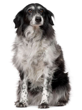 Border Collie, 10 years old, sitting in front of white background photo