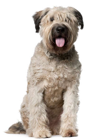 des: Bouvier des Flandres, 2 years old, sitting in front of white background