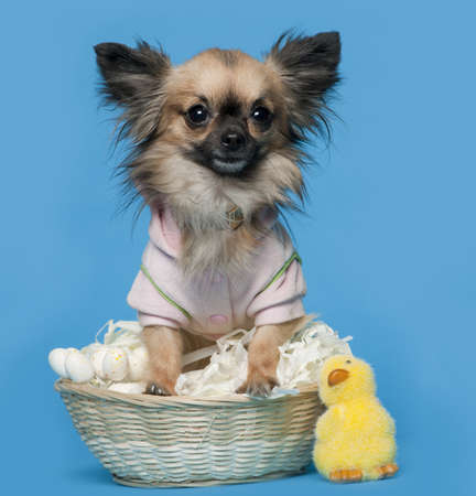 Chihuahua, 16 months old, sitting in front of blue background with Easter basket Stock Photo - 9564754