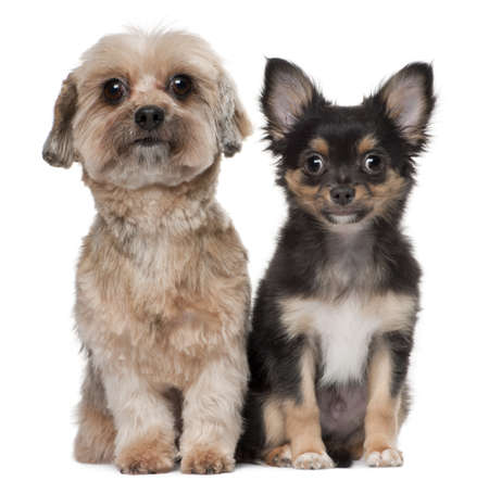 shih: Shih Tzu and Chihuahua, 5 years old and 3 months old, sitting in front of white background
