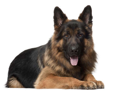 German Shepherd Dog, 2 years old, lying in front of white background photo