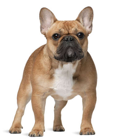 French bulldog, 9 months old, standing in front of white background Stock Photo
