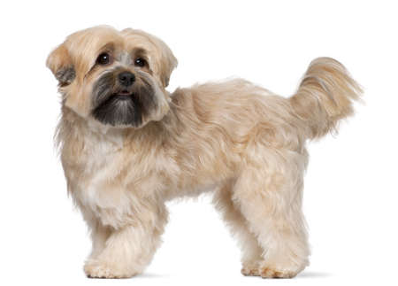 furry tail: Shih Tzu, 2 years old, standing in front of white background