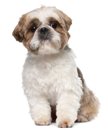 shih tzu: Shih Tzu, 2 years old, sitting in front of white background Stock Photo