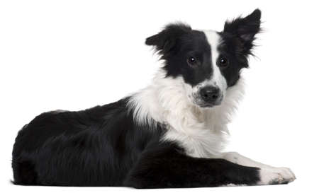 Border Collie, 4 months old, lying in front of white background photo