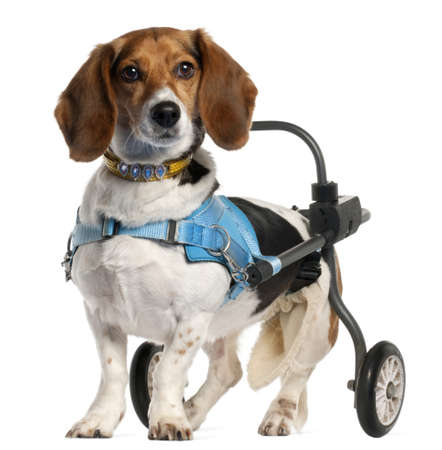 handicapped: Paralyzed handicapped Basset Art&Asien Normand dog, 8 years old, in front of white background